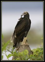 Lesser Yellow-headed Vulture - Cathartes burrovianus