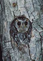Flammulated Owl (Otus flammeolus) photo
