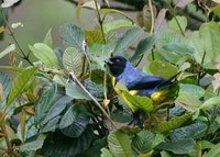 Hooded Mountain-Tanager - Buthraupis montana