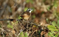 Stripe-headed Sparrow - Aimophila ruficauda