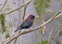 Varied Bunting - Passerina versicolor