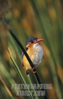 Malachite kingfisher , Alcedo cristata , Kafue National Park , Zambia stock photo