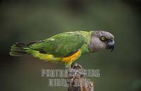 Senegal parrot , Poicephalus senegalus , Parc National de Niokolo Koba , Senegal stock photo