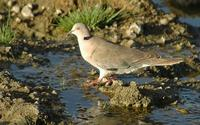 African Mourning Dove p.172