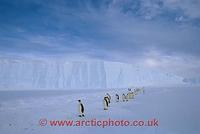 FT0101-00: Line of adult Emperor Penguins walk along the front of the Ice Shelf. Antarctica
