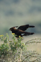 : Lophaetus occipitalis; Long Crested Eagle