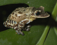 : Triprion petasatus; Casque-headed Tree Frog
