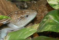 : Tiliqua scincoides intermedia; Northern Blue-tongued Skink
