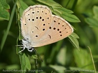 Maculinea telejus - Scarce Large Blue