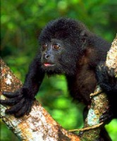 photograph of baby black howler monkey