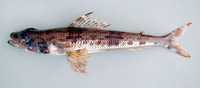Aulopus filamentosus, Royal flagfin: fisheries