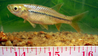 Rasbora caverii, Cauvery rasbora: fisheries, aquarium