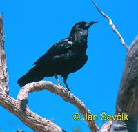 Corvus capensis - Cape Crow