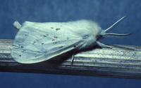 Image of: Arctiidae (footman moths and tiger moths)