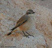 Red-tailed Wheatear - Oenanthe chrysopygia