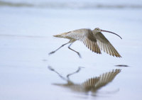 Far Eastern Curlew (Numenius madagascariensis) photo