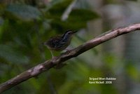 Striped Wren-Babbler - Kenopia striata