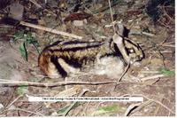 Annamite striped Rabbit (Nesolagus timminsi)