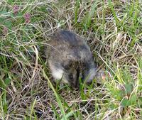 The    Siberian lemming is a rodent with a body length of about 15 cm, the size of     a Watervo...