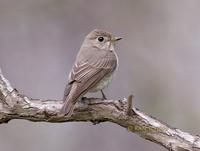 Asian brown flycatcher C20D 03578.jpg