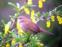 Southern Spotted Bush-Warbler