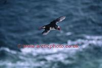 FT0174-00: Atlantic Puffin in flight