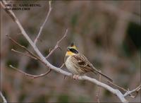 Yellow-throated Bunting Emberiza elegans 노랑턱멧새