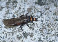 : Pteronarcys californica; Golden Stonefly
