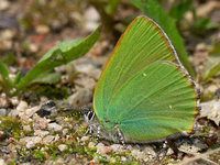 Callophrys rubi - Green Hairstreak