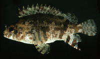 Centrogenys vaigiensis, False scorpionfish: fisheries