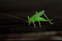 Meconema thalassinum - Oak bush cricket