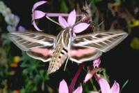 Image of: Hyles lineata (white-lined sphinx moth)