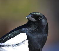 Image of: Pica pica (common magpie)