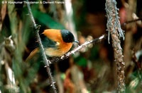 Black-and-orange Flycatcher - Ficedula nigrorufa