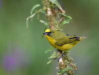 Yellow-crowned Euphonia (Euphonia luteicapilla) photo