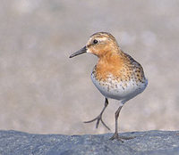 Red-necked Stint (Calidris ruficollis) photo