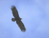 Greater Spotted Eagle (Aquila clanga) photo