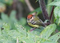 Rufous-crowned Tody-Tyrant (Poecilotriccus ruficeps) photo