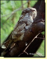 Indian Nightjar - Caprimulgus asiaticus