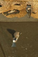 South African Swallow - Petrochelidon spilodera