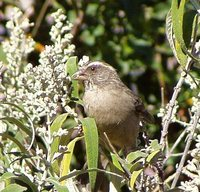 Streaky-headed Seedeater - Serinus gularis
