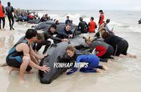 ...Dozens of volunteers help to rescue as many as 85 false killer whales stranded on Busselton Beac