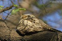 Birds of India - Grey Nightjar - Caprimulgus indicus