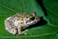 : Strongylopus grayii; Gray's Stream Frog
