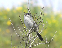 : Polioptila californica californica; Coastal California Gnatcatcher