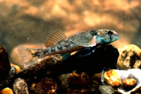 Etheostoma inscriptum, Turquoise darter: