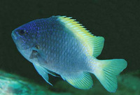 Chromis limbaughi, Limbaugh's damselfish: