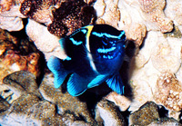 Neoglyphidodon oxyodon, Bluestreak damselfish: aquarium