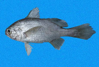 Stellifer zestocarus, Softhead stardrum: fisheries