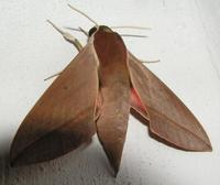 Theretra alecto - Levant Hawk-moth